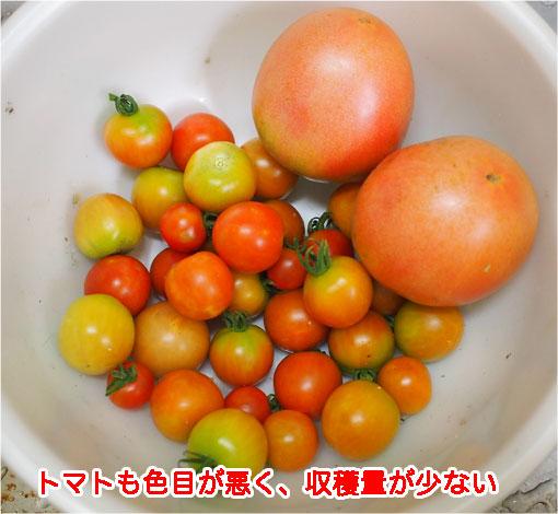 2018年7月22日収穫分トマト