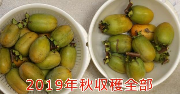 2019年収穫の渋柿