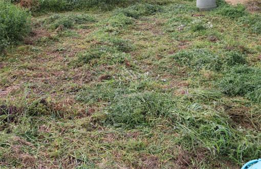 草刈りの翌日
